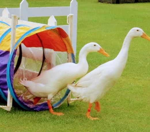 Duck Herding In Carlisle, Cumbria: Hen Party & Team Building Experience